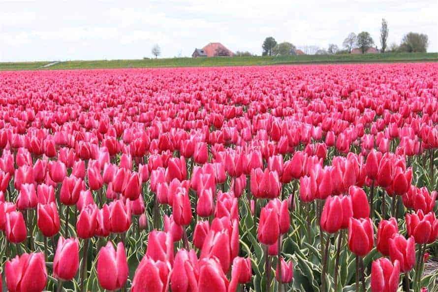 Tulipán Charmeur
