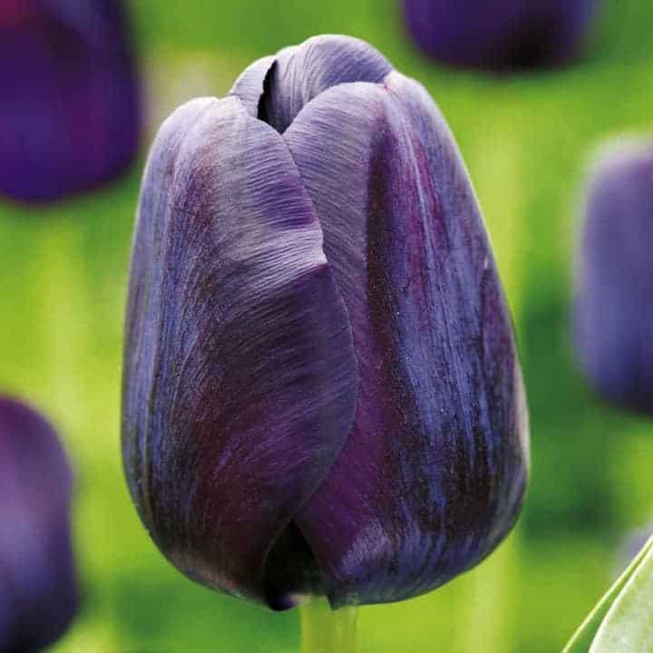 Tulipán Paul Scherer