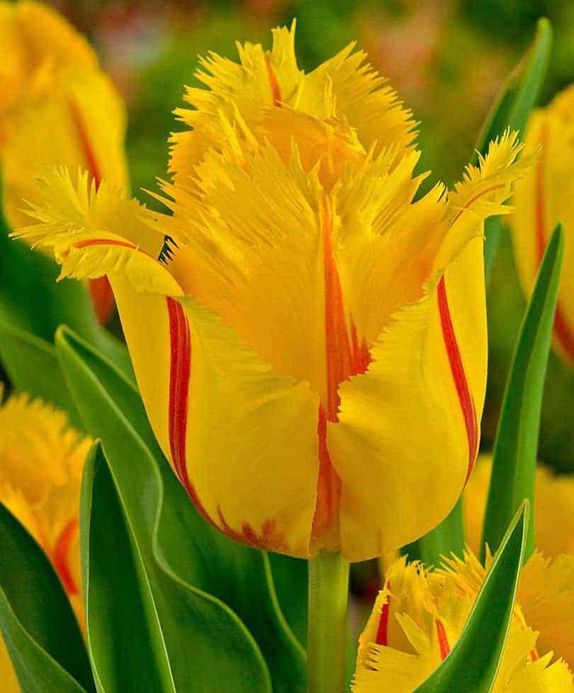 Tulipán Flamenco