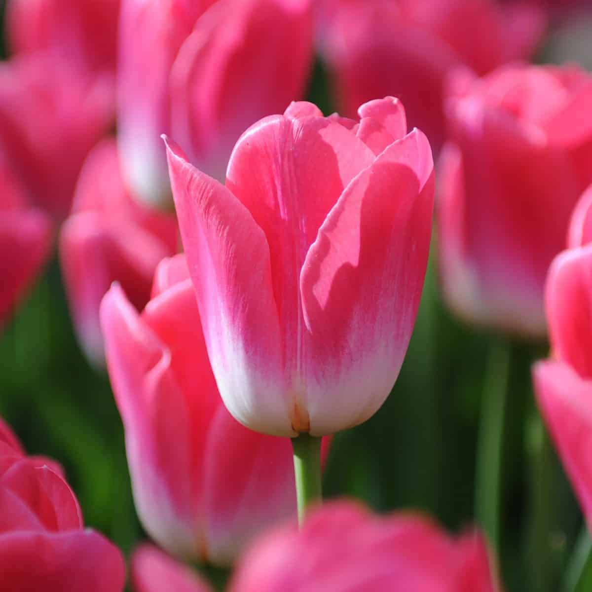 Tulipán Dynasty