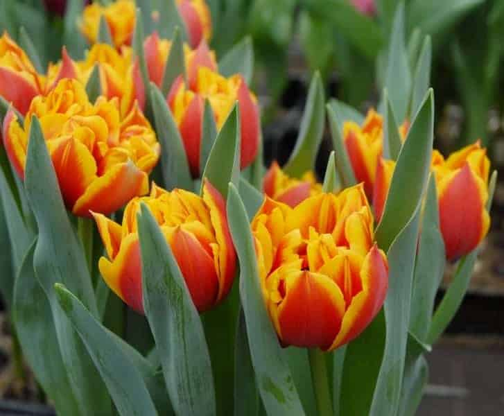 Tulipán Crossfire