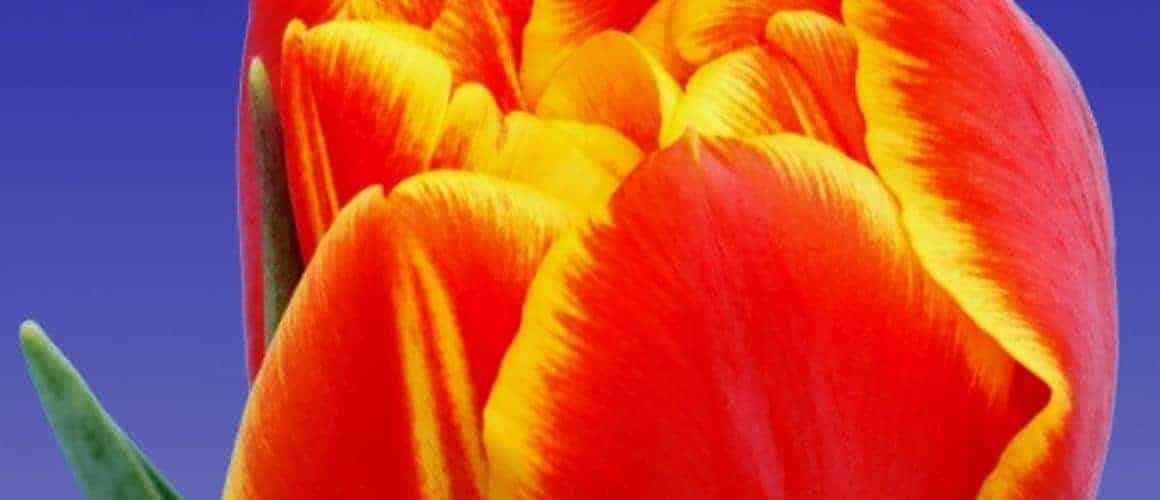 tulip_crossfire_3