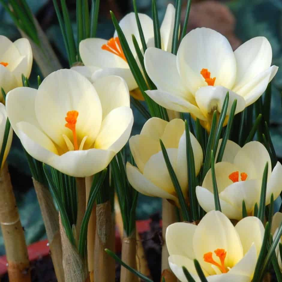 Crocus Chrysanthus Cream Beauty