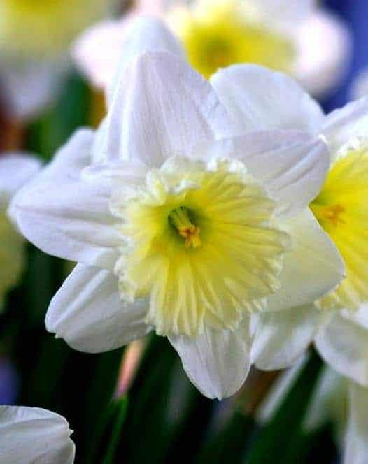 Narcissus Ice Follies