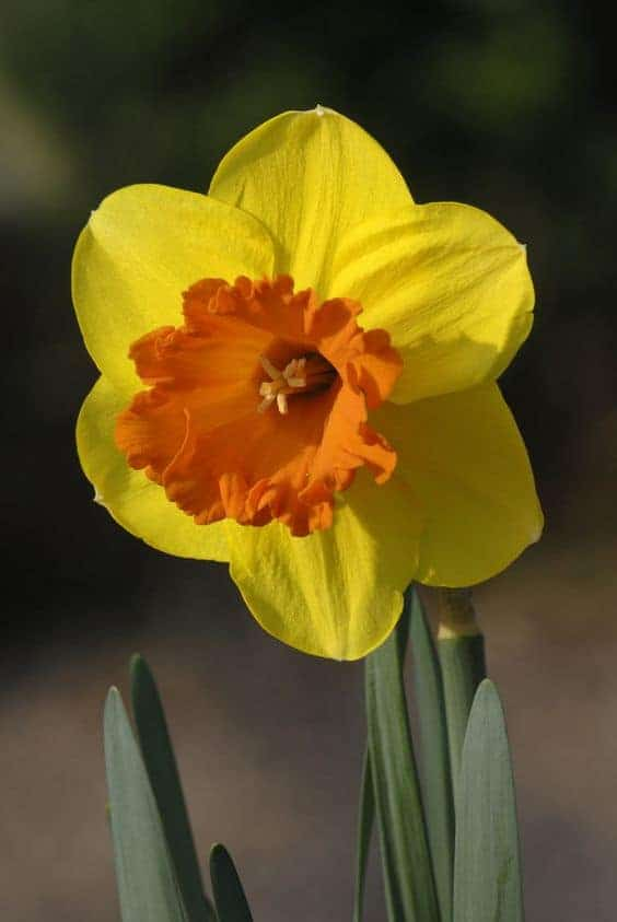 Narcissus Mary Bohannon