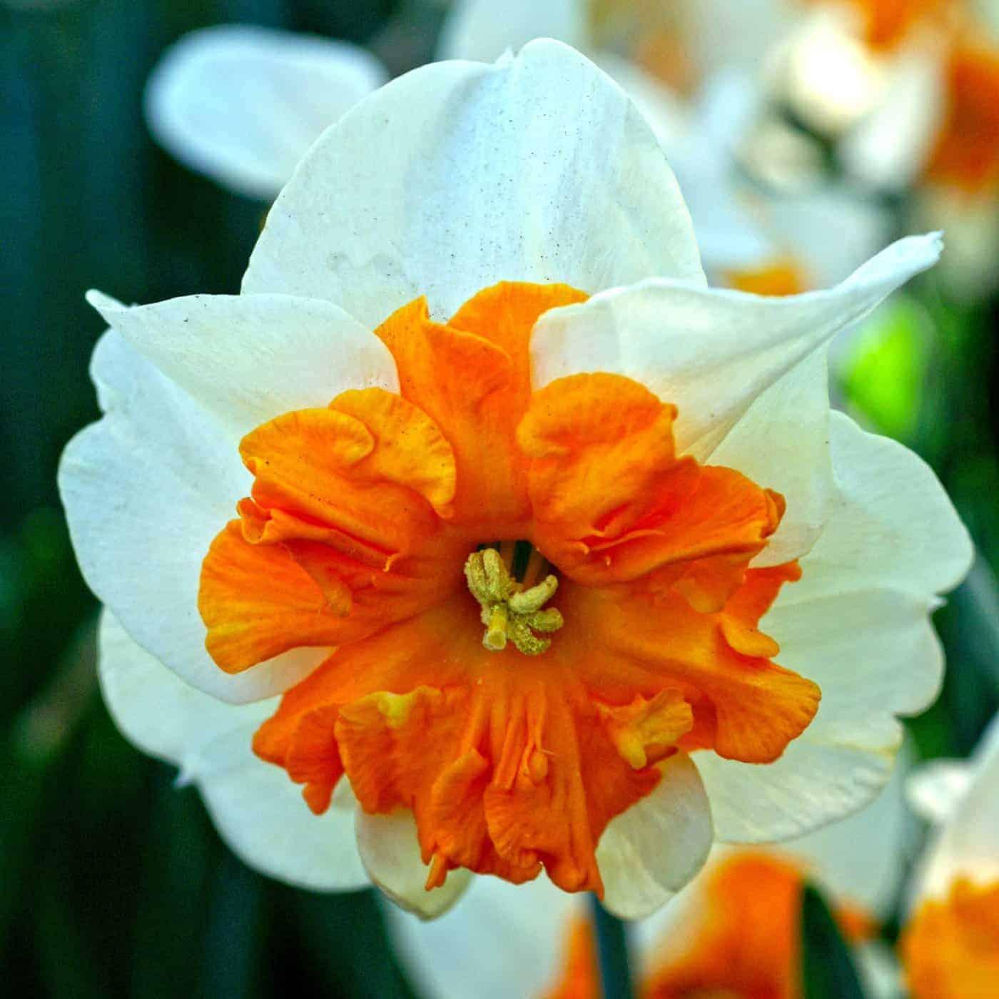 Narcissus Parisienne
