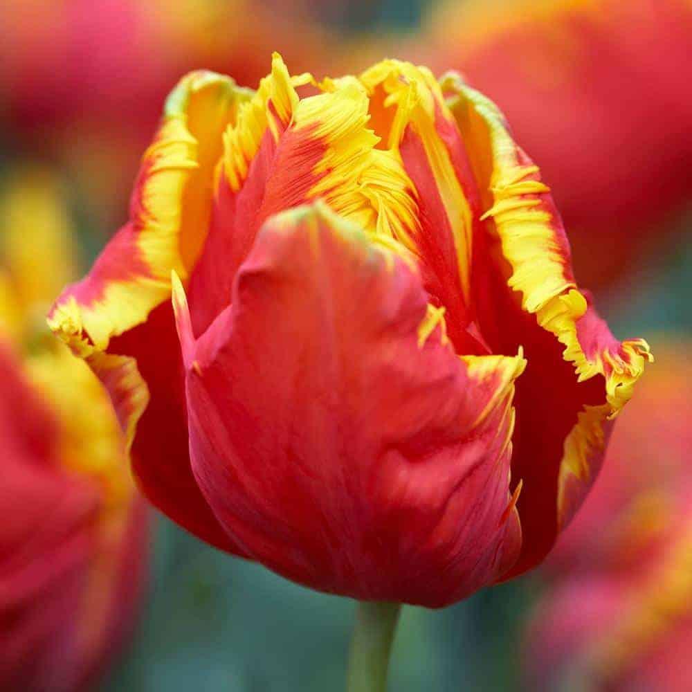 Tulipán Bright Parrot