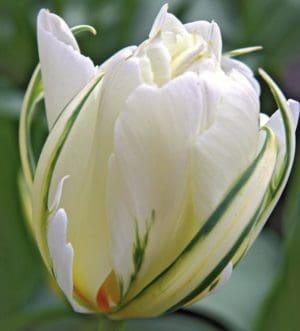 Tulipán Exotic Emperor