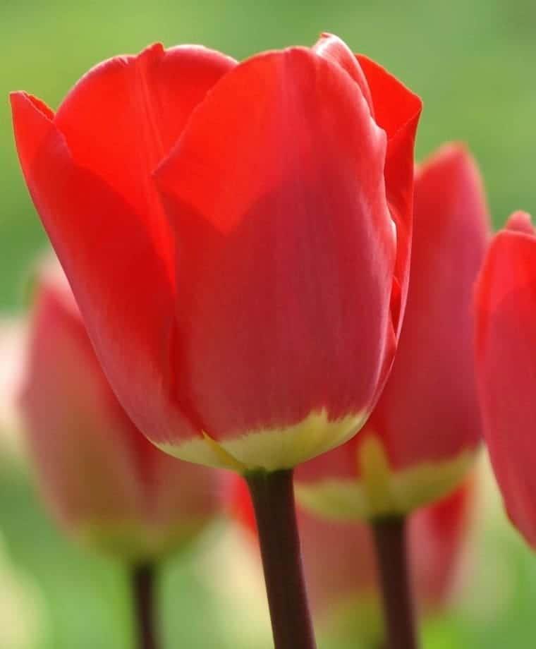 Tulipán Fostery King