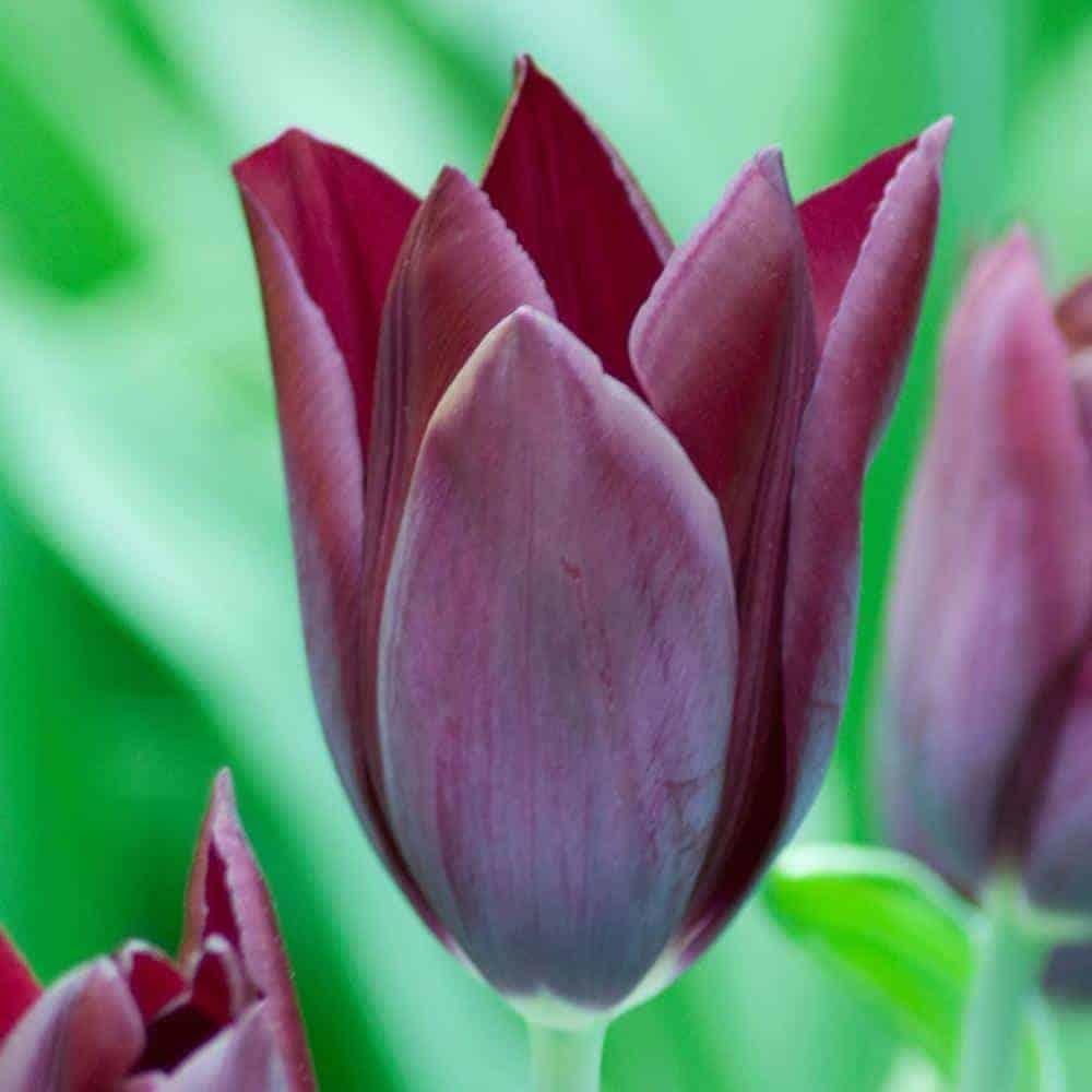 Tulipán Havran