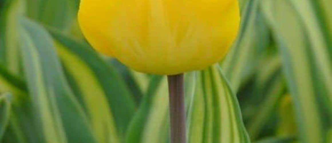 Tulipán Yellow Wave