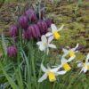 Fritillaria meleagris and Narcissus Jack Snipe IMG_3471