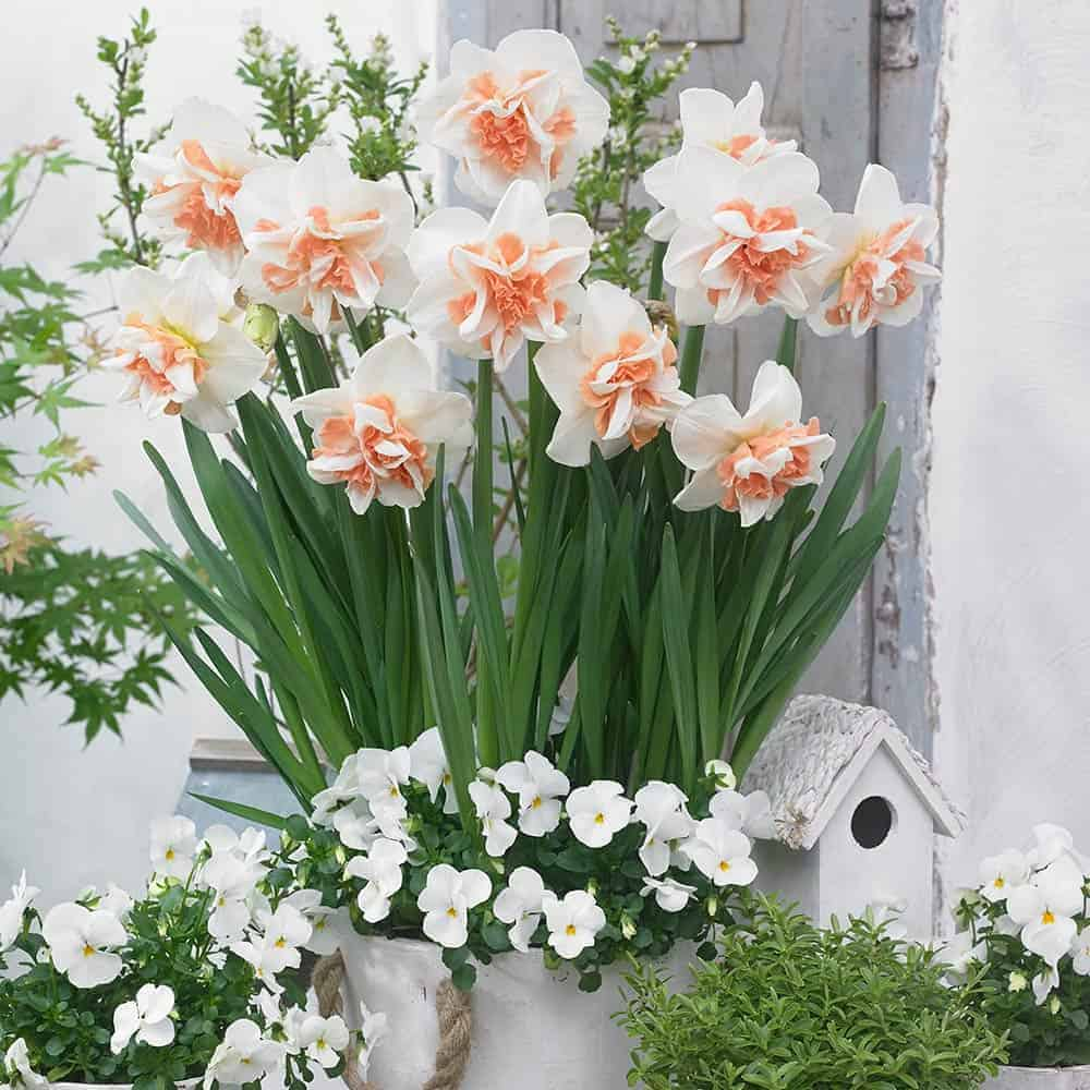 Narcissus Delnasnaugh