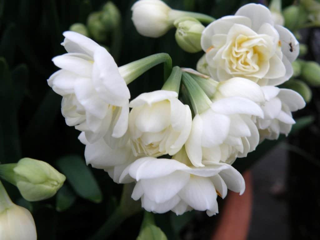 Narcissus Erlicheer