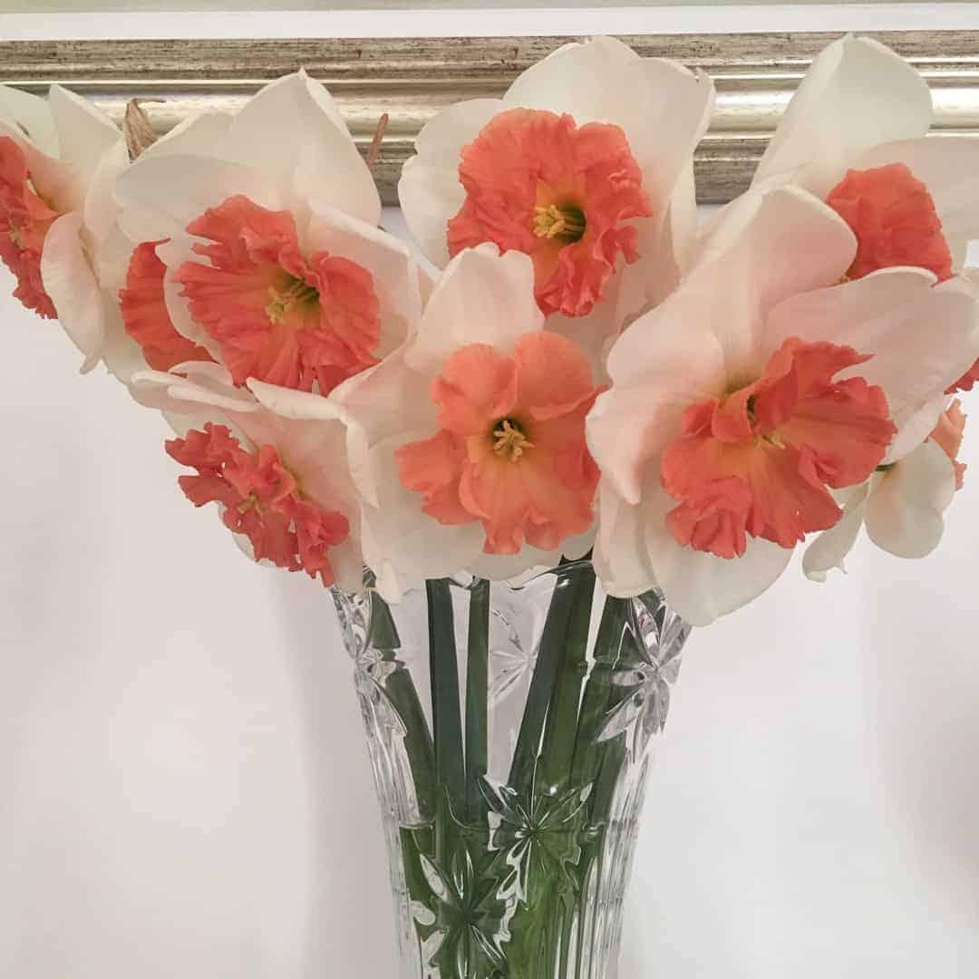 Narcissus Precocious