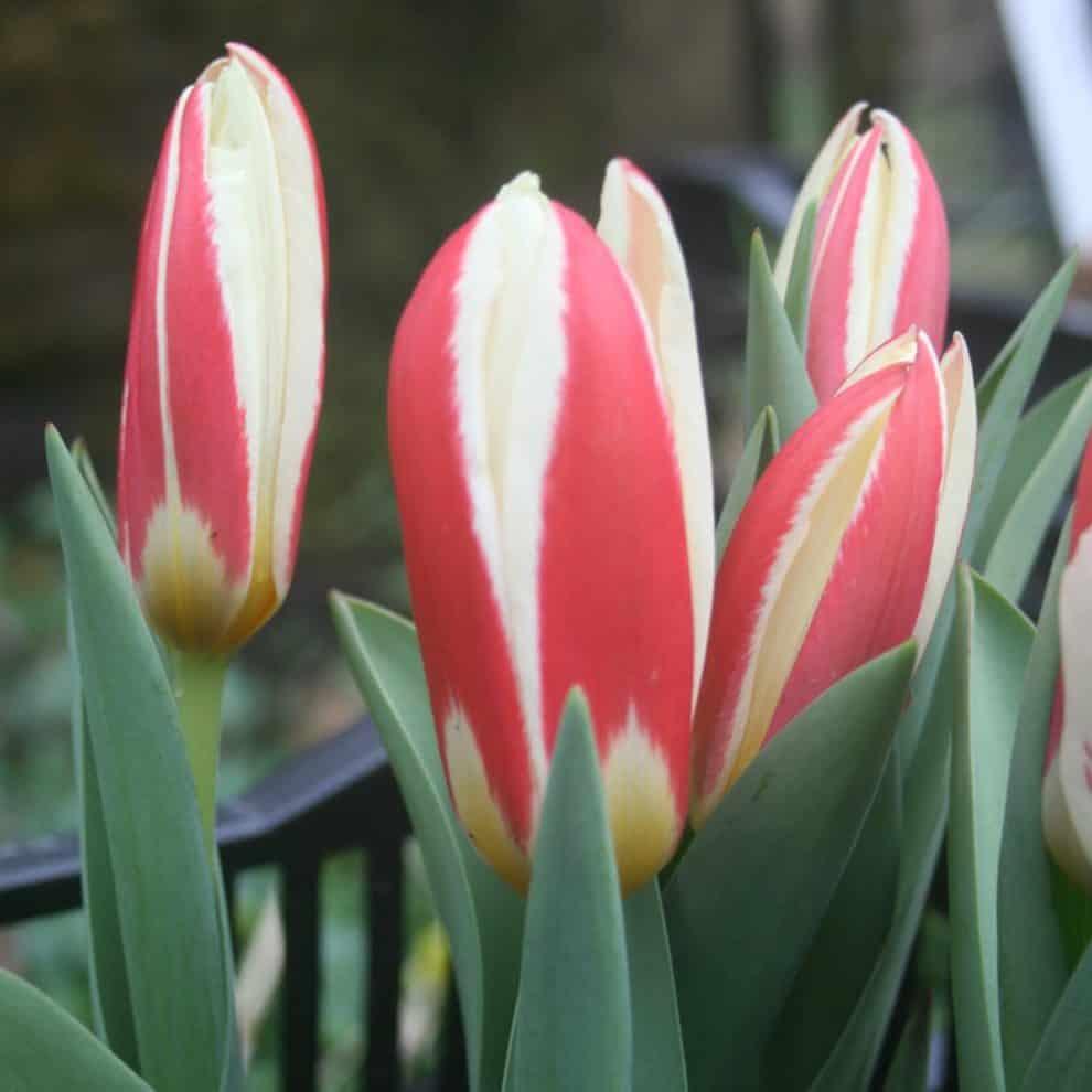 Tulipán Ancilla