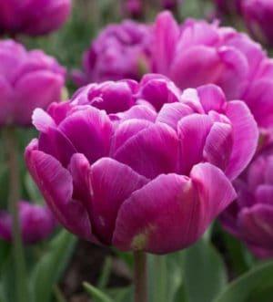 tulipa_blue_diamond_1