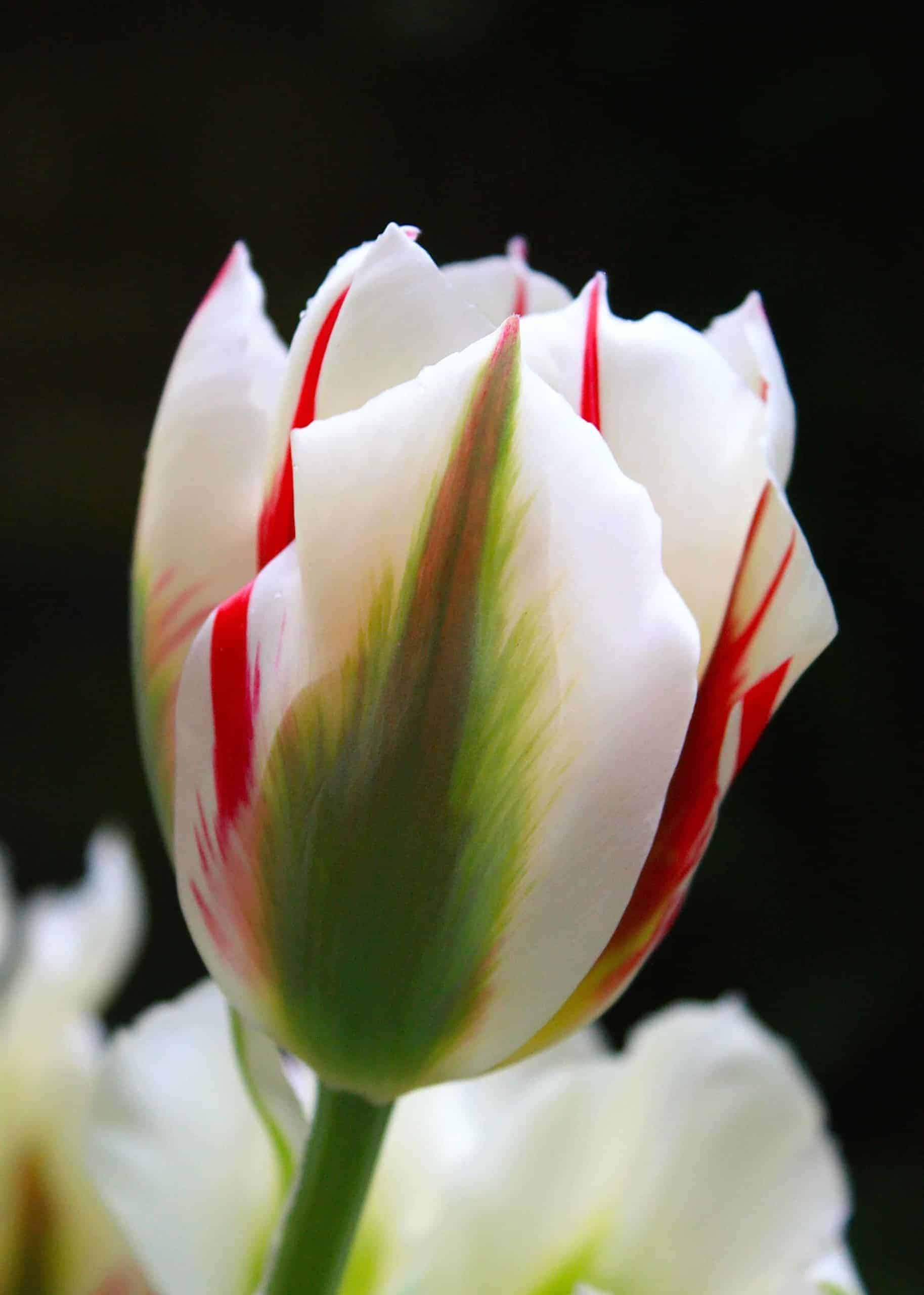 Tulipán Flaming Springgreen
