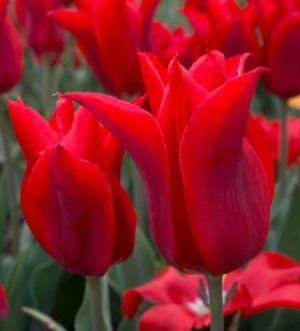 tulipa_moneymaker_1
