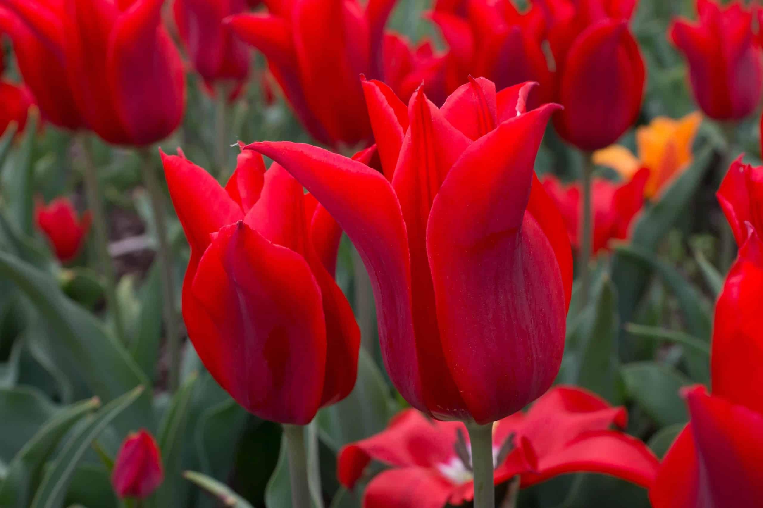 Tulipán Moneymaker