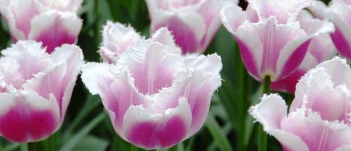 tulipa_siesta_1