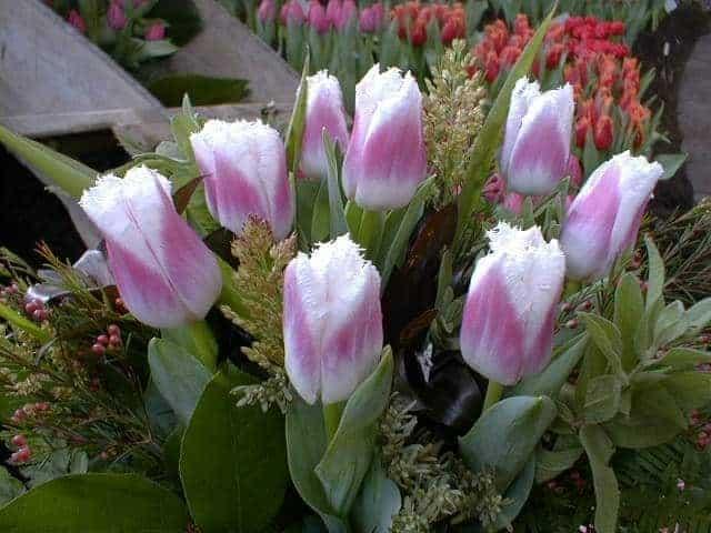 Tulipán Siesta