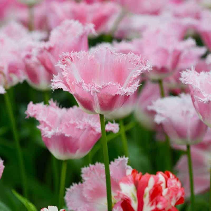 Tulipán Fancy Frills