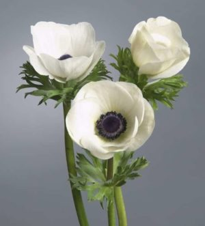 anemone_galilee_white_black_3