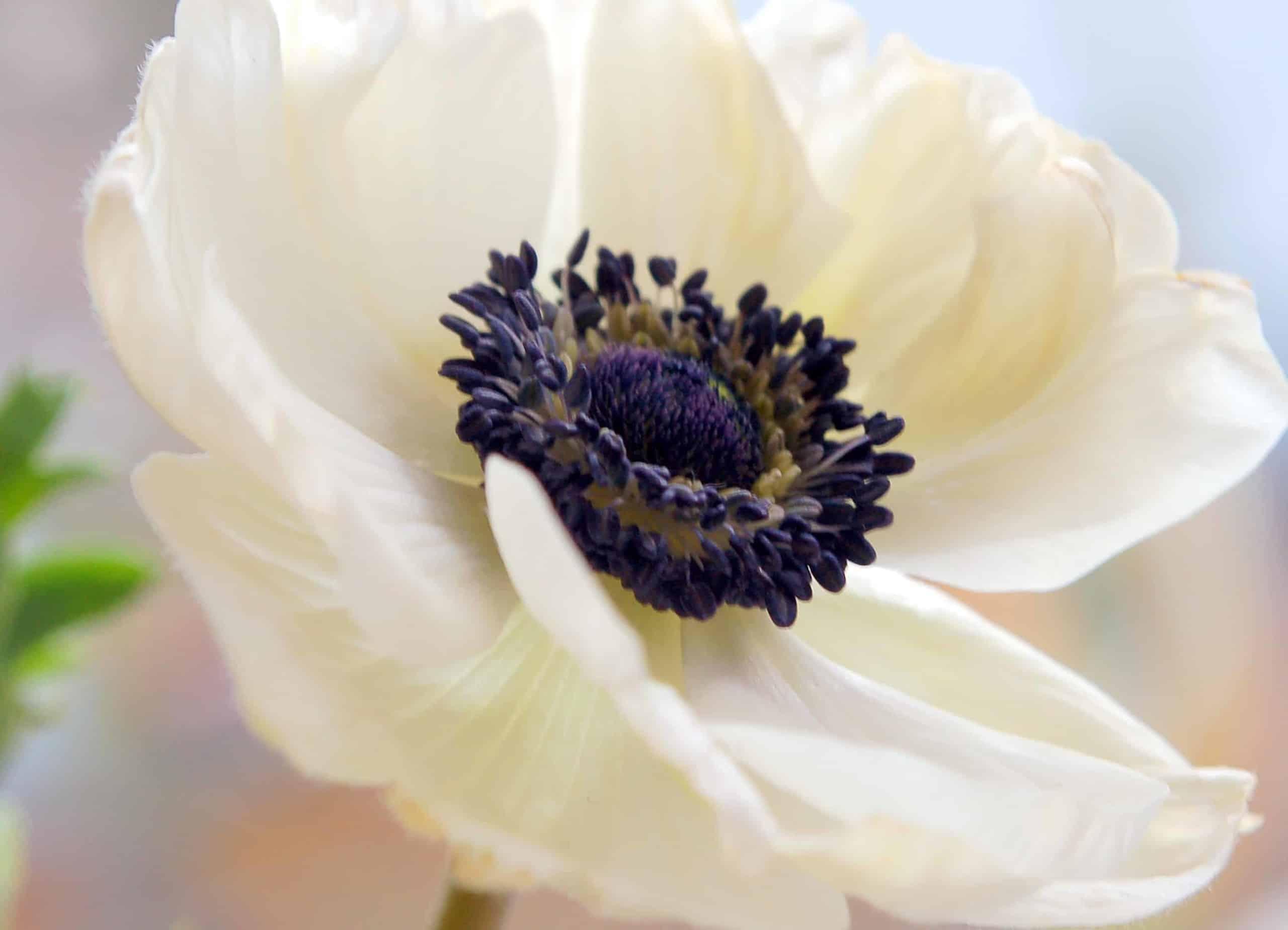 Anemone Galilée