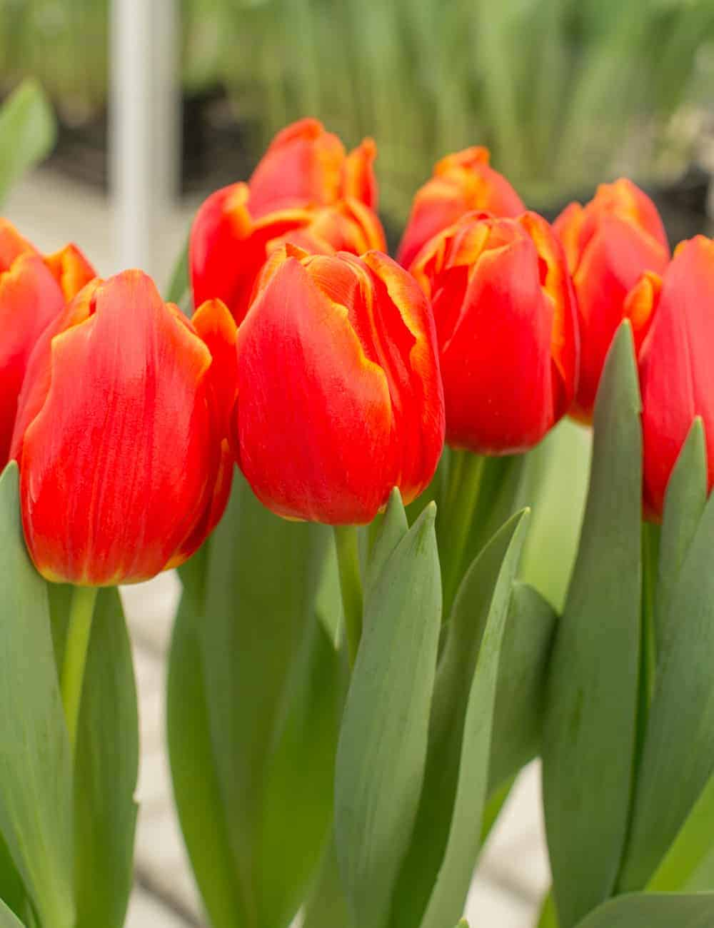 Tulipán Esta Bonita