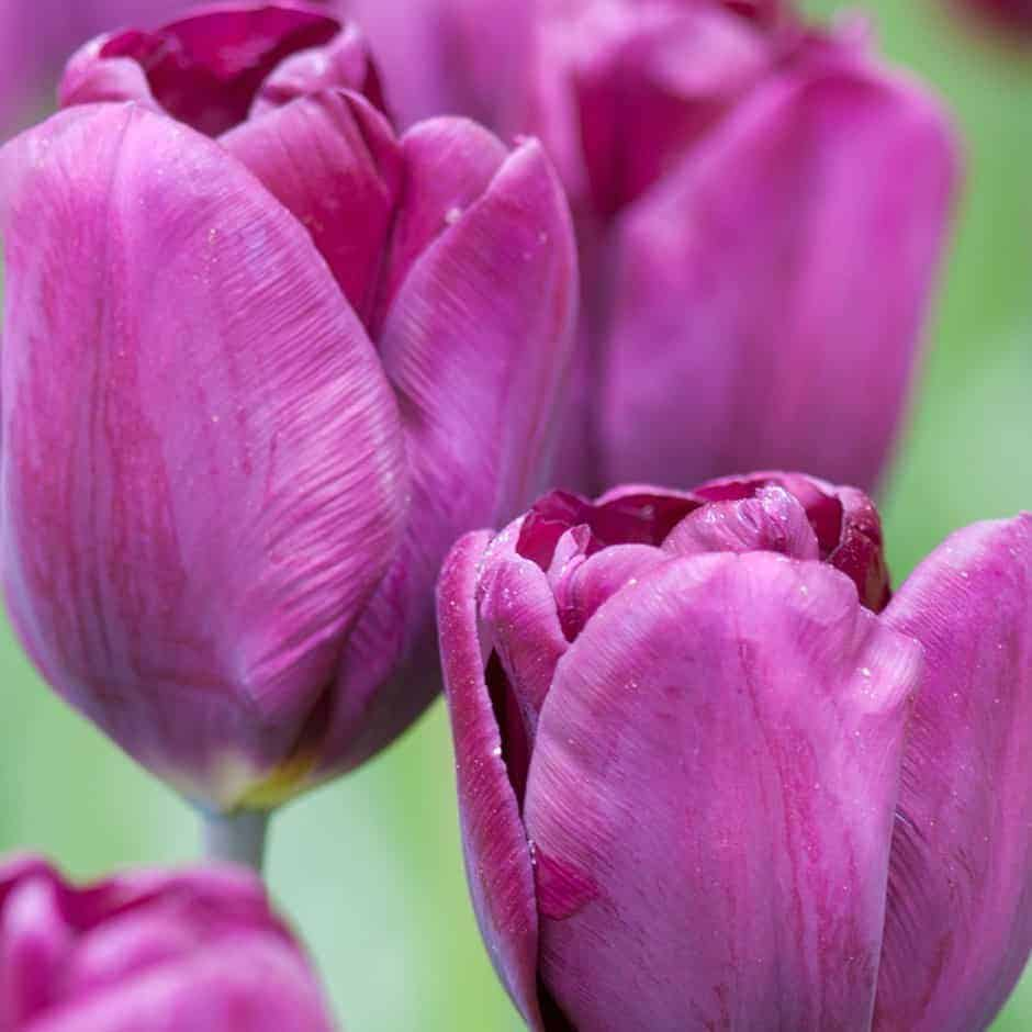 Tulipán Purple Lady