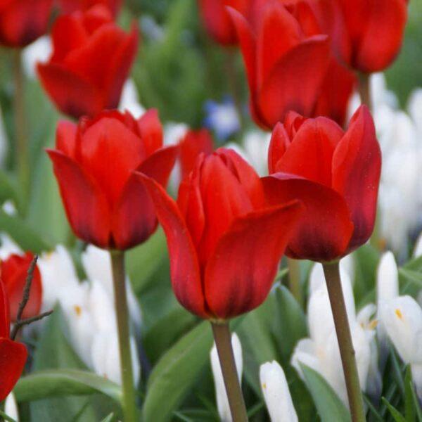 tulipa_show_winner_2
