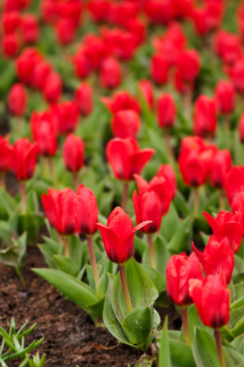 Tulipán Showwinner