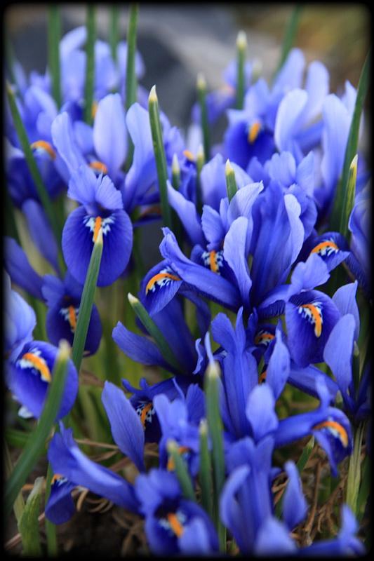 Iris reticulata Harmony - kosatec síťkovaný Harmony