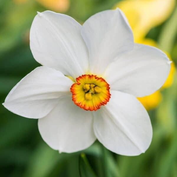 Narcis poeticus recurvum - narcis recurvus
